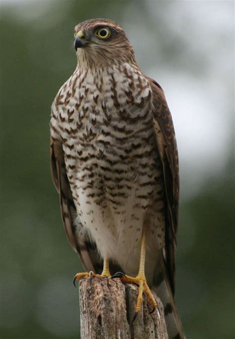 25 best ideas about birds of prey on pinterest raptors