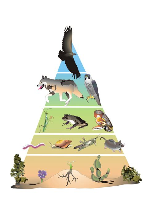 cadena alimenticia pirámide trofica consumidor primario proyecto educere
