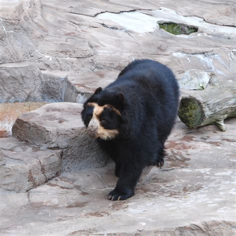 spectacled bear spectacled bear