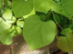 heart shaped leaf tree group picture image by tag