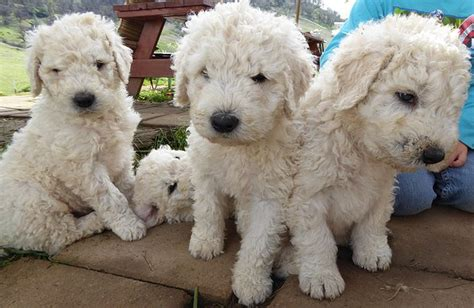 komondor puppies for sale komondor puppies for sale california
