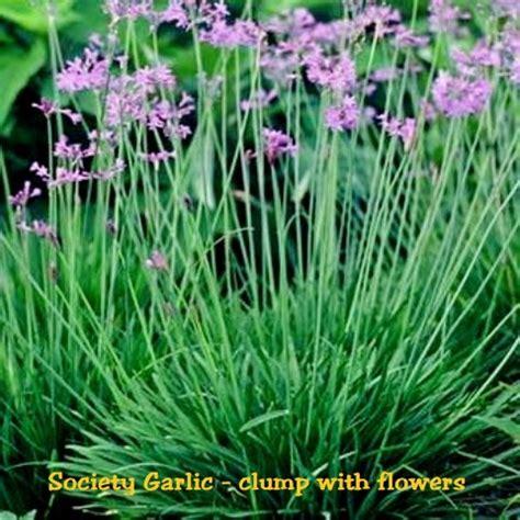 society garlic tulbaghia violacea
