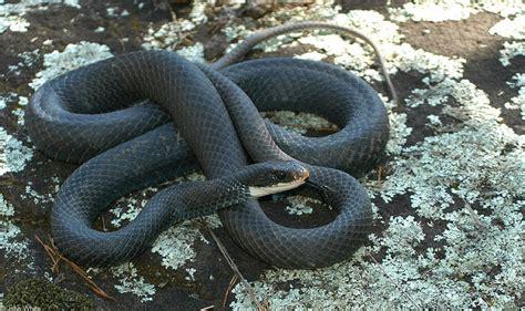 black racer misc snakes northern black racer coluber constrictor