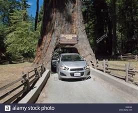 leggett california chandelier tree in drive thru tree