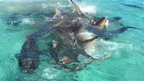 imagenes impresionantes de tiburones un dron captura el impactante momento en el que 70