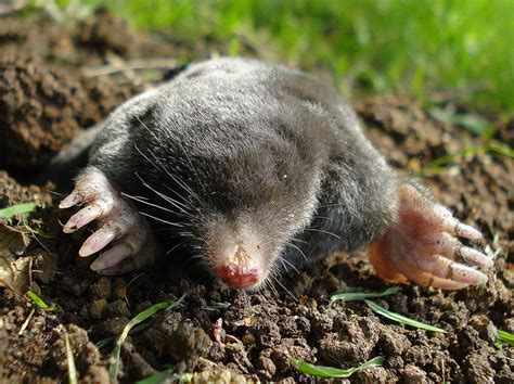 Garden Mole by Moles And Voles In The Garden Oh Tennessee Home And