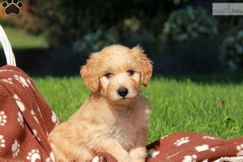 goldendoodle puppies near me goldendoodle puppy for sale near lancaster pennsylvania 69d89752 0c91