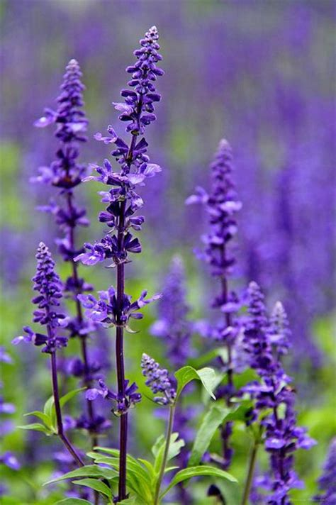 Winterharte Stauden Lila by Salvia Purple Perennial Flower Mint Family Hardy