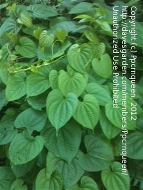 climbing house plants identification plant identification closed climbing vine with