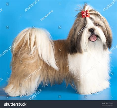 different kinds of shih tzu different kinds of shih tzus types of small dogs that are so you ll cry with
