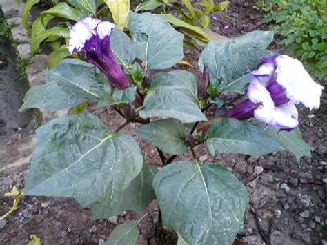 Obat Herbal Sesak Nafas Pada Bayi khasiat daun kecubung atasi sesak nafas dan sakit pinggang