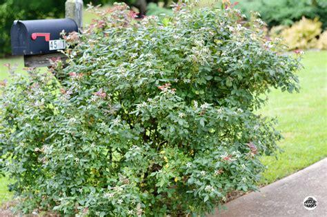 summer rose pruning the prudent garden