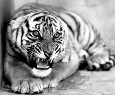tiger biography in english tiger cubs in the wild www pixshark com images