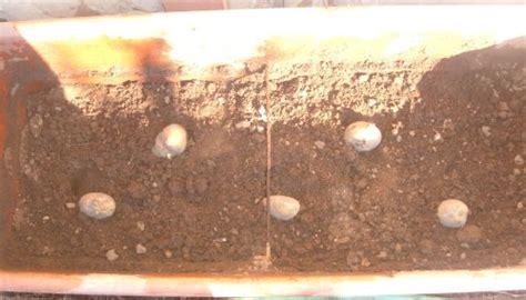 piantare patate in vaso coltivare le patate in vaso ci sono dei vantaggi