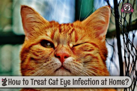 how to treat eye infection at home how to treat cat eye infection at home sweetie 2018