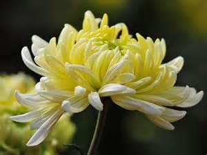 Chrysanthemum by Zodiac Plants Flower Blog