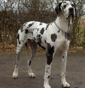 great dane breed info breeders and puppies for sale