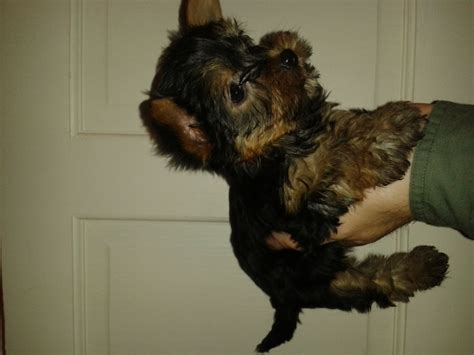 teacup yorkie breeders uk teacup terrier puppies boy and pets4homes