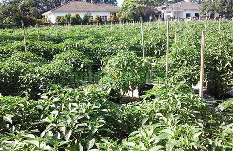 Hidroponik Sistem Fertigasi 10 tahap mudah cara menanam cabai hidroponik fertigasi