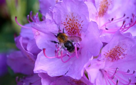 purple flower with bee wallpaper desktop wallpaper bee purple rhododendron bee at rhododendron