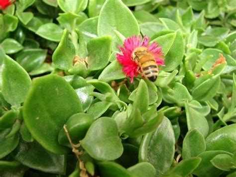 pianta grassa fiori fiori piante grasse piante grasse fiori delle piante