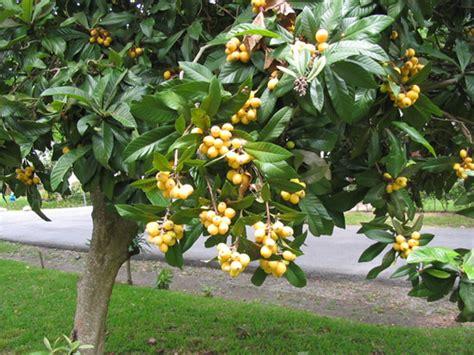 japanese plum tree fruit the adventures of toddicus