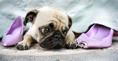 owning a pug pugs 19 things you ll only understand if you own a pug metro news