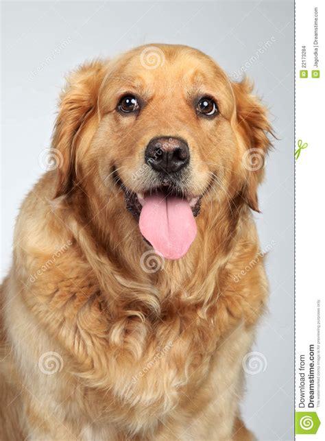 gray golden retriever puppies golden retriever on grey background stock images image 22173284