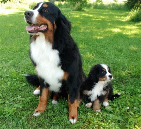 bernese mt glenbern bernese mountain dogs breeder located in perth ontario canada 1 hour west