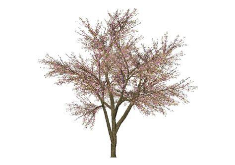 ciliegio in fiore ciliegio in fiore mcdesign acca software