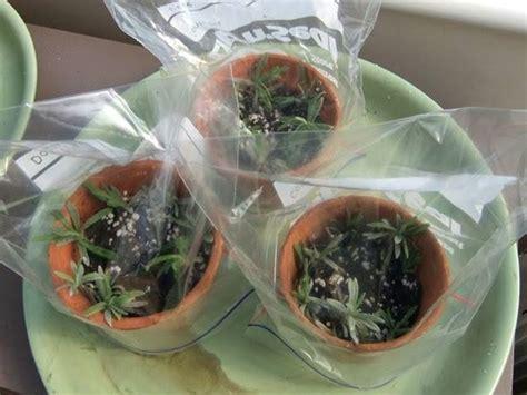 pianta lavanda in vaso lavanda in vaso piante perenni come coltivare la
