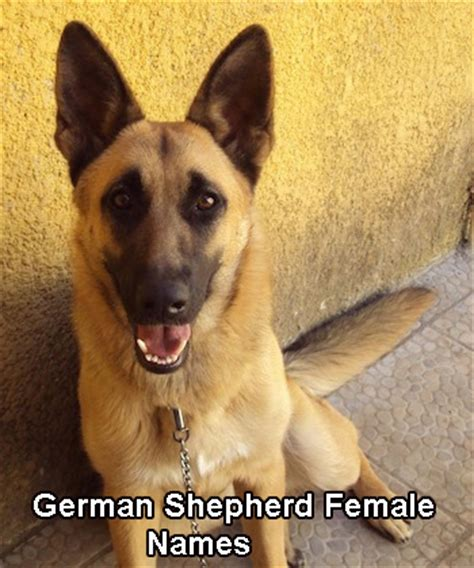 german shepherd names german shepherds german shepherd facts