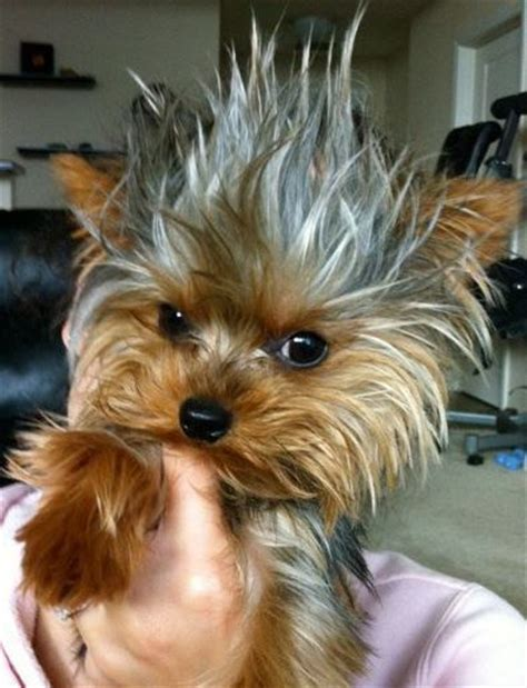 pictures on a tea cup yorkie hair cut 282 best yorkies images on pinterest yorkie yorkies and