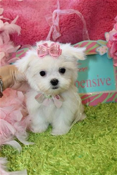 teacup maltese puppies for sale 300 microchip tiny teacup maltese puppies for sale pets for sale in the uk