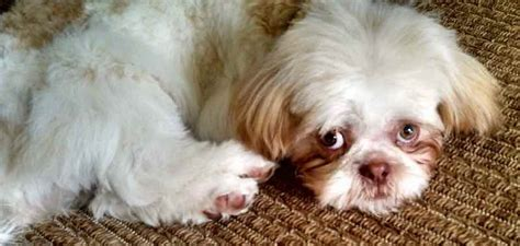 lazy shih tzu laziest breeds in the world lazy dogs k9 research lab