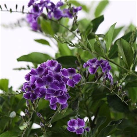 china doll plant cats flowers for florida costa farms