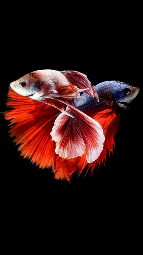 wallpaper iphone 6s hd fish apple iphone 6s wallpaper with two betta fishes fighting