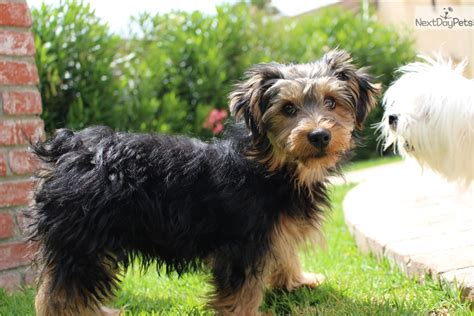 gray yorkie puppies gray terrier yorkie puppy for sale near los angeles california