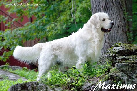 white golden retriever 50 most stunning white golden retriever photos and images