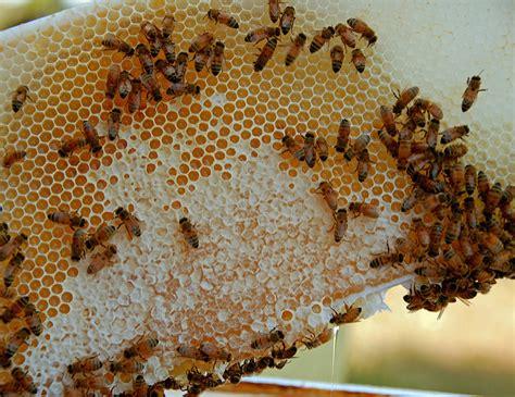 the dangers of harvesting honey keeping backyard bees