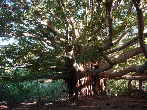 how s that for esoteric the bodhi tree