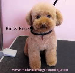 haircutsfordogs poodlemix toy poodle maltipoo grooming exles torrance dog grooming pet spa pink pucci groomer