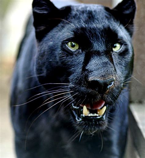 black leopard panther black leopard fun animals wiki videos pictures