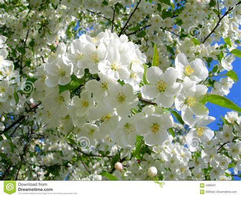 il fiore bianco alberi sboccianti fiore bianco immagine stock