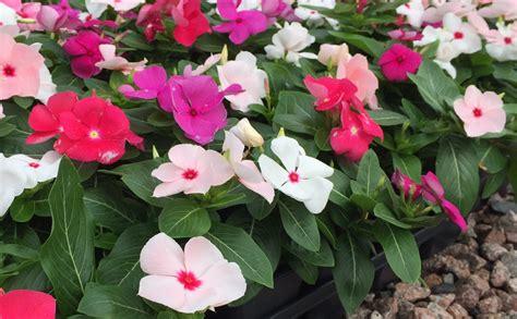 Bunga Vinca Casade Mixed plant gallery yc nursery