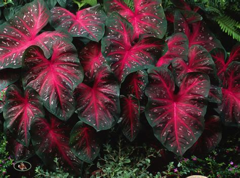 red flash caladiums big amp bold in any landscape