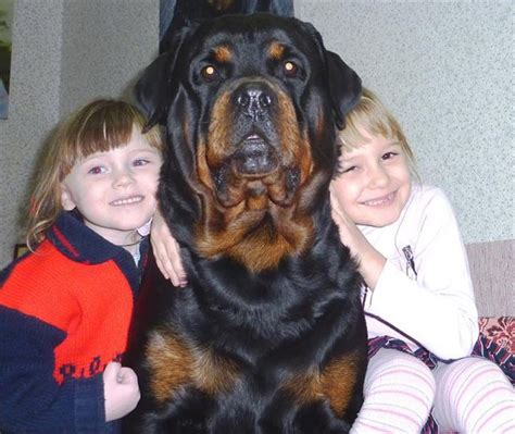 rottweiler with children 12 reasons why you should never own rottweilers