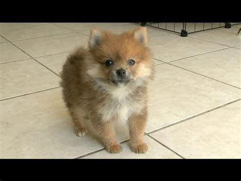 pomeranian sounds pomeranian adorable sound funnydog tv