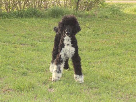 parti colored poodle callie standard parti poodle puppy renowned poodles