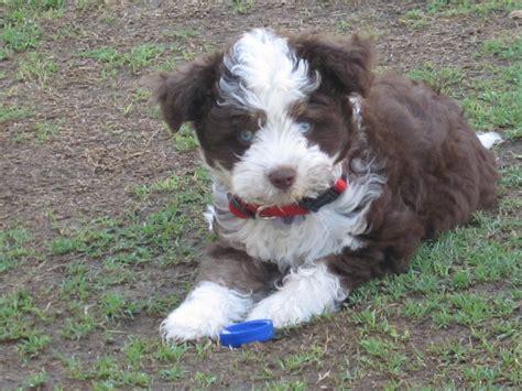 german shepherd poodle mix puppies labradoodle australian labradoodle lab poodle hybrid dogs html autos weblog